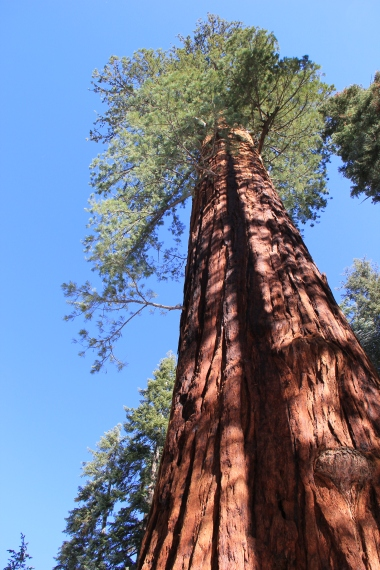 A Sequoia tree